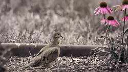 A Moody Mourning Dove searched for seeds near pink coneflowers in the garden