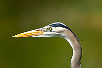 Great Blue Heron, (Ardea herodias), Everglades National Park, Florida Photo: Peter Llewellyn