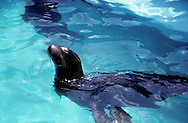 Seal in Blue Water