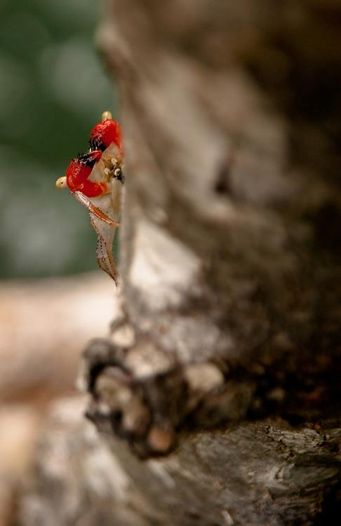 Mangrove Crab in Costa Rica