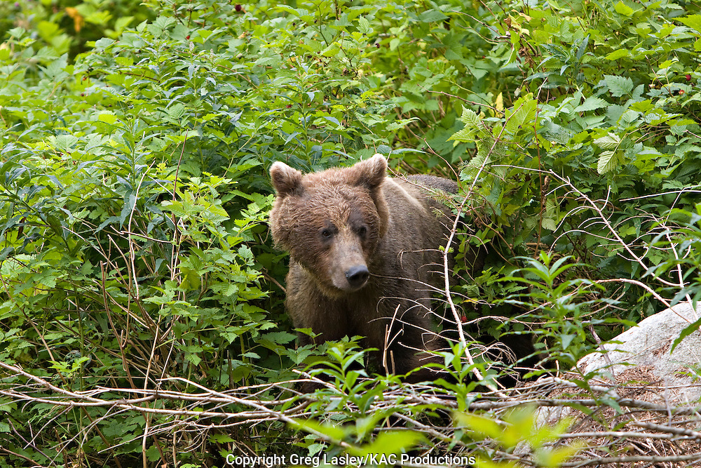 Grizzly Bear.Ursus arctos.foraging for berries in vegetation.Chilkoot River,.Haines,.Borough of Haines, Alaska.8 August 2008