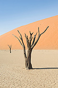 Dead camelthorn trees (Acacia erioloba) at Dead Vlei, Namib Desert, Namibia. The clay pan was formed after rainfall and flooding of the Tsauchab River.  Once abundant water allowed camel thorn trees to thrive.  Climate change brought drought, which killed the trees.  The dunes encroached and isolated the pan.  The extreme dryness preserves the trees from decomposing.
