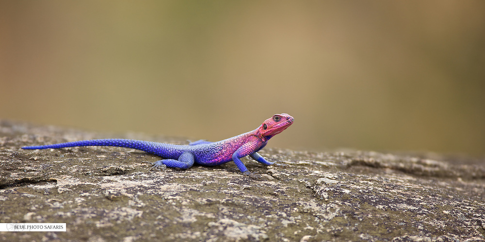 Agama lizard, Northern Serengeti