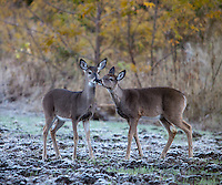YEARLING WHITETAIL FAWN SNIFFING ANOTHER YEARLING