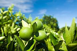 Plantacao de laranja na regiao de Araraquara. O Brasil eh um dos maiores produtores de citricos do mundo / Orange trees in Brazil, the world's No. 1 citrus grower.