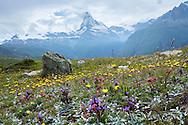 Alpine meadow, view to Matterhorn, Swiss Alps