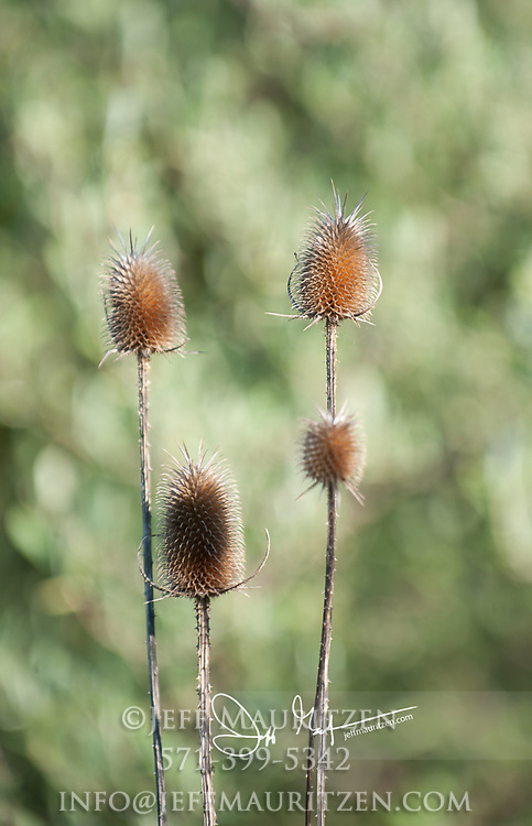 Dried up Dipsacus-Teasel.
