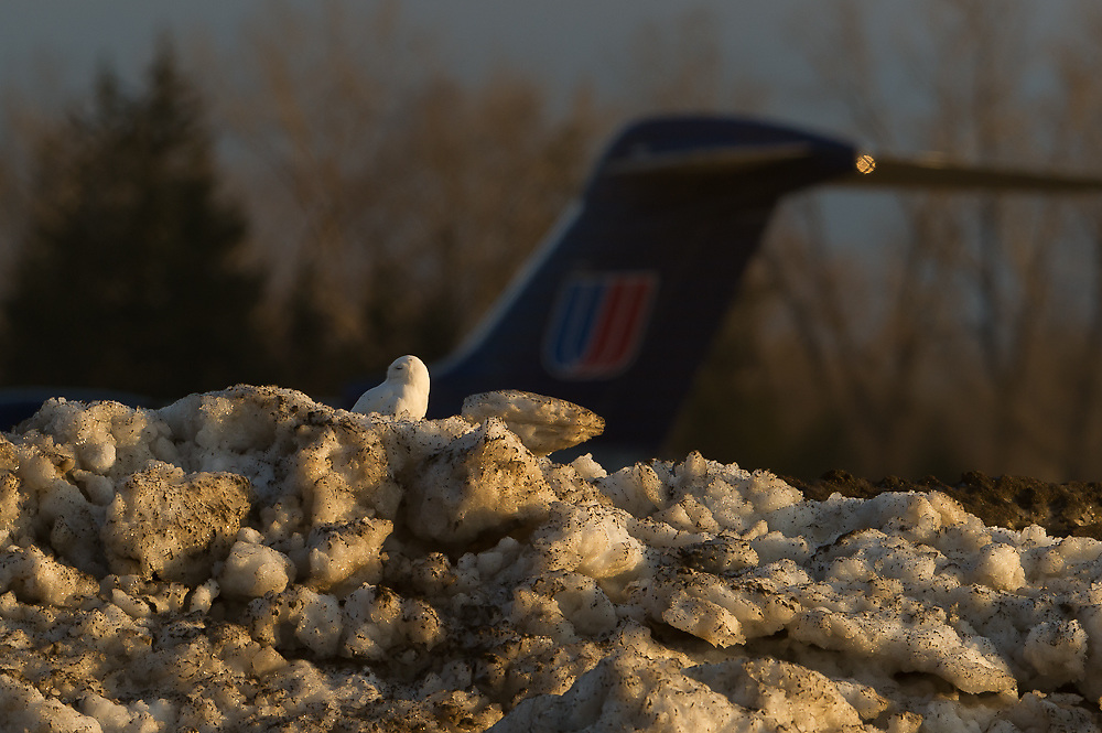 Snowy Owl male flight Syracuse Airport