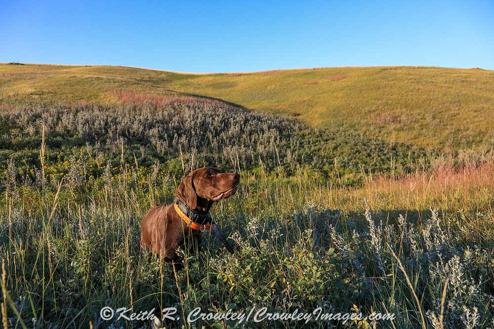 John Zeman's GSP Louie points a sharptail during a Montana bird hunt.