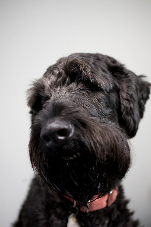 Henry, a Giant Schnoodle, is a test subject at the Duke Canine Cognition lab on the campus of Duke University in Durham, N.C., Monday, June 15, 2009.
