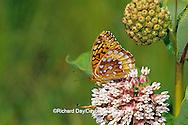 03322-00519 Great Spangled Fritillary butterfly (Speyeria cybele) on Common Milkweed (Asclepias syriaca) Sand Prairie-Scrub Oak Nature Preserve, Mason Co.  IL