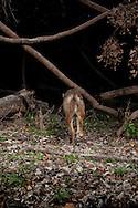 Coyote (Canis latrans)<br /> TEXAS: Travis Co.<br /> Brackenridge Field Laboratory; Austin<br /> 9-March-2011<br /> J.C. Abbott