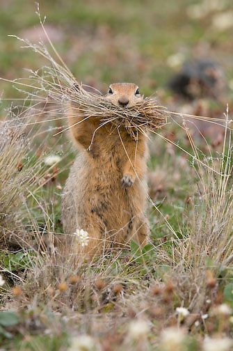 Arctic Ground Squirrel, collecting grasses to line underground nest.