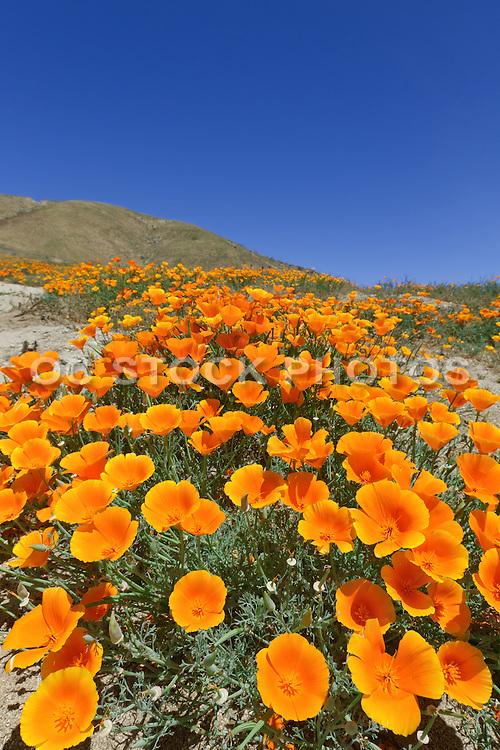 California State Flower Poppies