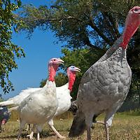 Good Shepherd Heritage Turkeys and Chickens