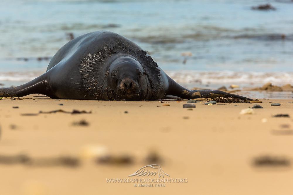 Hooker's Sea Lion, Waipapa Point, Southland, New Zealand