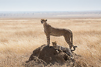 Cheetah mum with cubs looking for prey in the vast dusty plains of Serengeti under scorching sunlight.