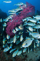 Surgeonfish congregate around a large Gorgonian, with a sole Barramundi hiding in the middle<br /> <br /> Shot in Indonesia