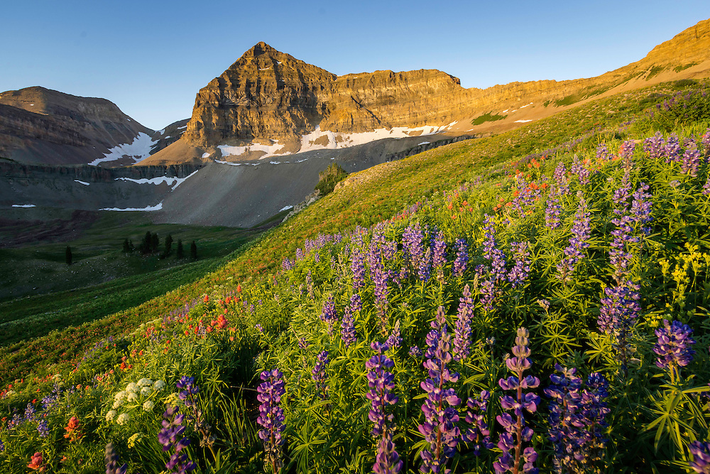 Summer blooms of wildflowers fill the Mt. Timpanogos basic with color as far as you can see as the sun begins to illuminate the mountain peak.