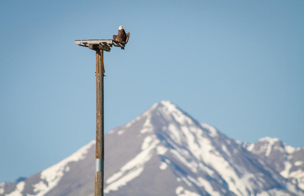 A bald eagle perches on a nesting platform near Lake DeWeese Reservoir.