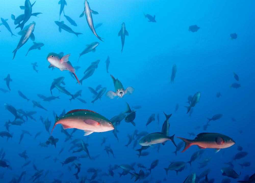Ecuador, Galapagos Islands, Darwin Island, Underwater view of schooling Pacific Creolefish (Paranthias colonus)