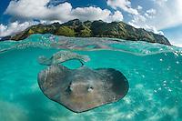 Sting ray, Moorea, French Polynésia. / Raie pastenague (Himantura fai), Moorea Polynésie française.