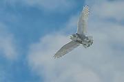Snowy Owl Soaring
