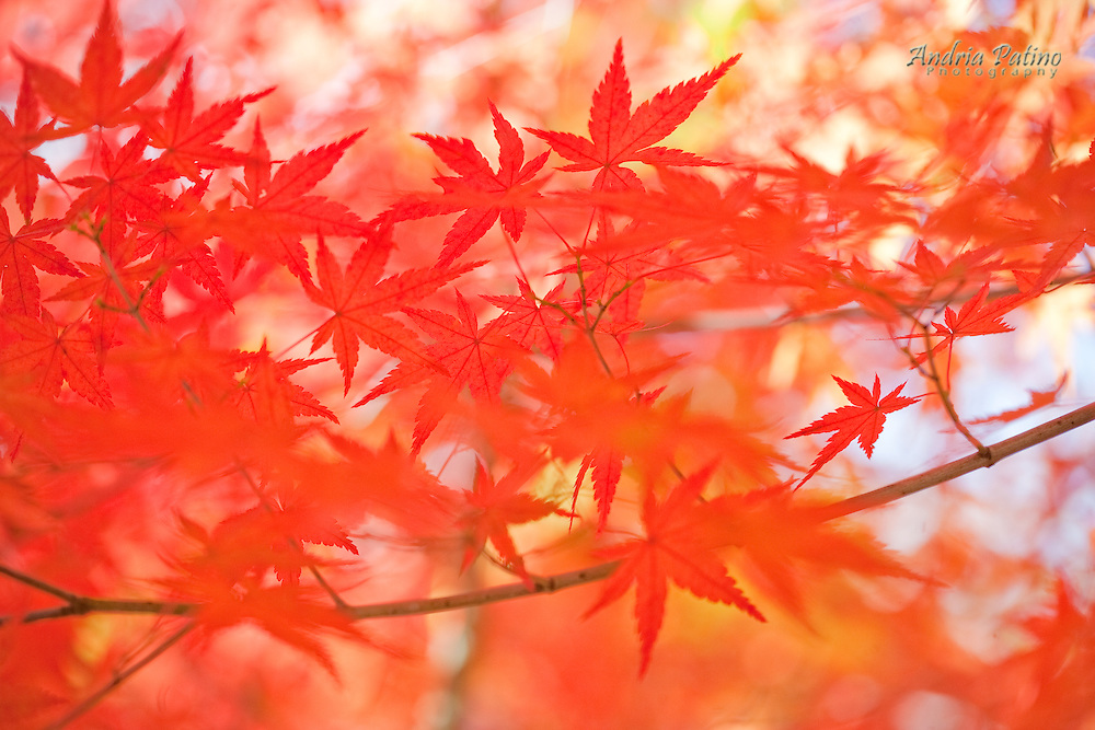 Japanese Maple leaves, Hakone, Japan