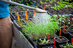 Watering trays of young seedlings and cuttings on a bench in the greenhouse