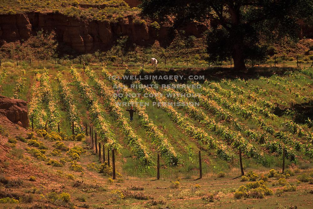 Image of Navajo corn farming at Canyon de Chelly National Monument, Arizona, American Southwest