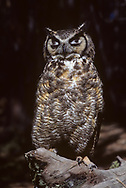 Great-horned owl with upper eyelids closed may look from a distance like eyes are still open, © 1983 David A. Ponton