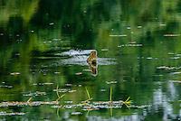 American Crocodile [Crocodylus acutus] living in inland lake, bearing teeth at rival? or potential mate; Soberania National Park, Panama