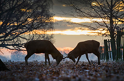 © Licensed to London News Pictures. 19/01/2017. London, UK. Young deer lock antlers in Bushy Park at first light. Temperatures are not expected to rise above 1 degree in the south east today. Photo credit: Peter Macdiarmid/LNP