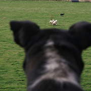 A competitor watches with interest as another dog and its owner takes part in the Canterbury Sheep Dog trials. New Zealand