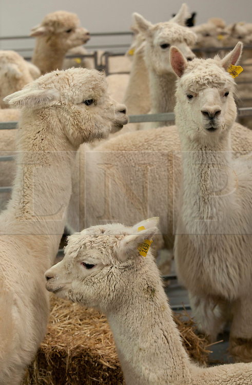 © Licensed to London News Pictures. 13/04/2012. Fosse Way, Warwickshire, UK. One of the largest ever auction sales of Alpacas takes place today (Friday) at Warwickshire Exhibition Centre, Near Leamington Spa. The auction of nearly 100 Alpacas sourced from three herds are expected to sell for many thousands of pounds. All three herds have had success in the show ring whenever they have been entered and offers the chance to purchase quality breeding stock at the pinnacle of British Breeds. At auction will be 25 maiden females, 56 Breeding females, 10 stud males and two Cria (baby) Alpacas. Pictured, female Alpaca ready to be auctioned. Photo credit : Dave Warren/LNP.Contacts, (NOT FOR PUBLICATION)..Breeder Mike Coghlan 07814 013291..Auctioneer Heather Pritchard 0771 4761311.