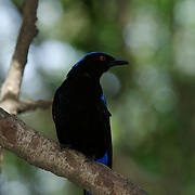 Asian Fairy Bluebird Irena puella
