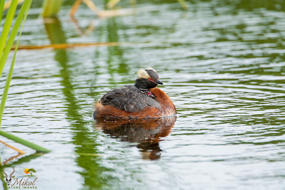 Horned Grebe with Chick on back