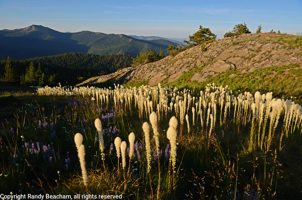 Beargrass and lupines on Grizzly Peak looking south to Roderick Mountain at sunrise in summer. Grizzly Peak Roadless Area in the Kootenai National Forest, Purcell Mountains, northwest Montana.
