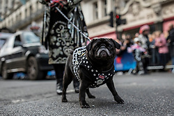 © Licensed to London News Pictures. 01/01/2019. London, UK. A dog belonging to the Pearly Kings and Queens during the London New Year's Day Parade. More than 8,000 performers from 26 countries are taking part in the parade. Photo credit: Rob Pinney/LNP