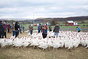 CANAJOHARIE, NY - October 24, 2016: The staff of Fleisher's Craft Butchery mingle with the Turkeys weeks before Thanksgiving. Every year, the company gathers its staff for an annual farm tour in Central New York State. <br /> <br /> CREDIT: Clay Williams.<br /> <br /> © Clay Williams / claywilliamsphoto.com