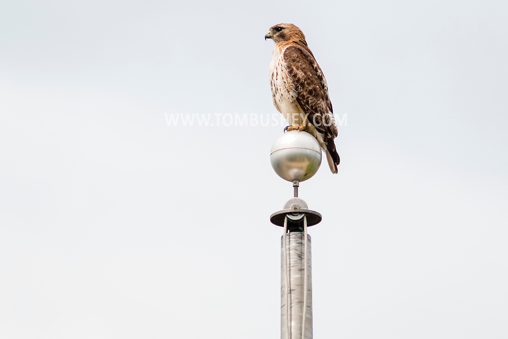 Goshen, New York - A red-tailed hawk perches on top of a flagpole at Goshen High School on June 11, 2016.