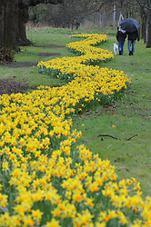 © Licensed to London News Pictures. 12/04/2013.The cold and wet weather continues today (12.04.2013) at Footscray Meadows in Sidcup Kent.  No blossoms on the trees wet and raining but this couple take time to walk the dog and enjoy the bright yellow snake of daffodils in Kent..Photo credit : Grant Falvey/LNP
