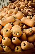 Butternut squash in a greenhouse at Muth Family Farm awaiting processing, packaging, and shipment.