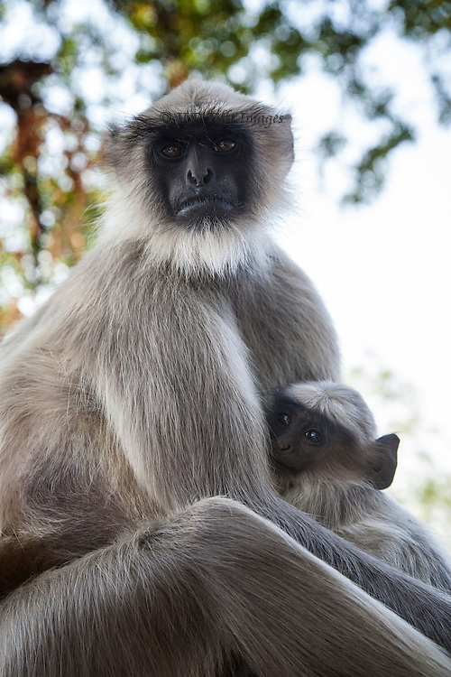 Mother and child in the troop of langur that live near the Ellora caves, Maharashtra, India.