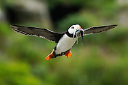 Horned Puffin (Fratercula corniculata) Flying With Mouthful of Fish, Near Lake Clark National Park, Alaska