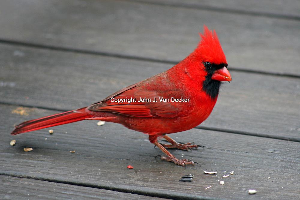 Northern Cardinal, Cardinalis cardinalis, (male) cocking head while on deck