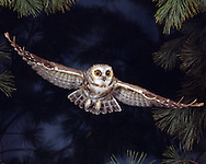 Saw-whet Owl in flight (Ohio)