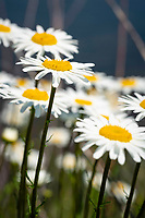 A field of daisy flowers shines bright in the warm Summer sun.