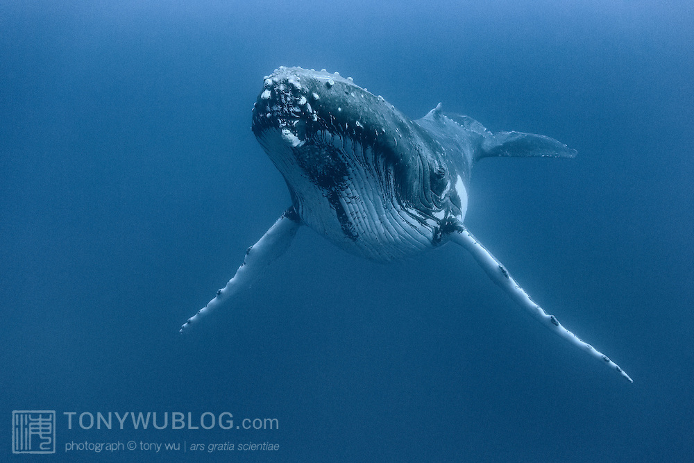 Adult male humpback whale (Megaptera novaeangliae) at rest in deep water, at about 35 meters.