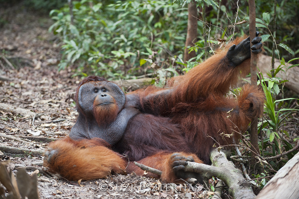 Bornean Orangutan <br /> Pongo pygmaeus<br /> Dominant male resting on forest floor<br /> Tanjung Puting National Park, Indonesia